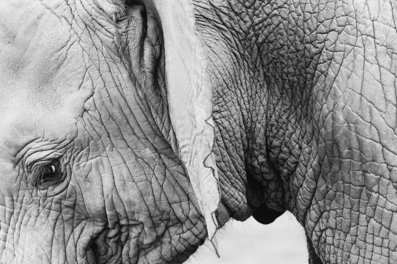 Elelephant